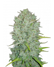 Northern Lights Auto - Fast Buds Original - autoflowering