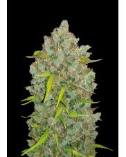 BubbleGum Auto - Fast Buds Original - autoflowering