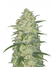 White Widow Auto - Fast Buds Original - autoflowering