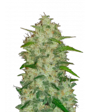 Chemdawg Auto - Fast Buds Original - autoflowering