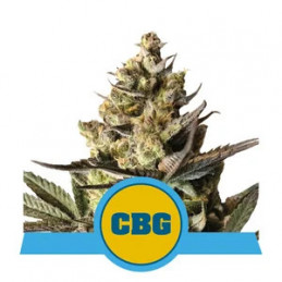 Royal CBG Automatic - Royal Queen Seeds - Medical autoflowering