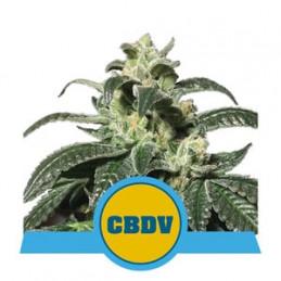Royal CBDV Automatic - Royal Queen Seeds - Medical autoflowering