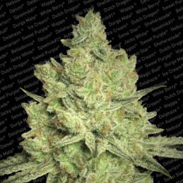 Jacky White - Paradise Seeds- feminizovaná semínka konopí