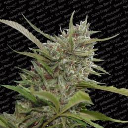 Auto White Berry - Paradise Seeds - autoflowering