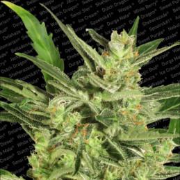 Automaria II - Paradise Seeds - autoflowering