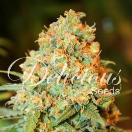 Critical super silver haze - Delicious Seeds - feminizovaná semena konopí