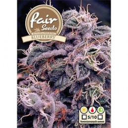 AutoBlueberry  - autoflowering - Fair Seeds - samokvetoucí semena marihuany