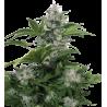 White Dwarf - 5 ks - feminzovaná semínka - autoflowering