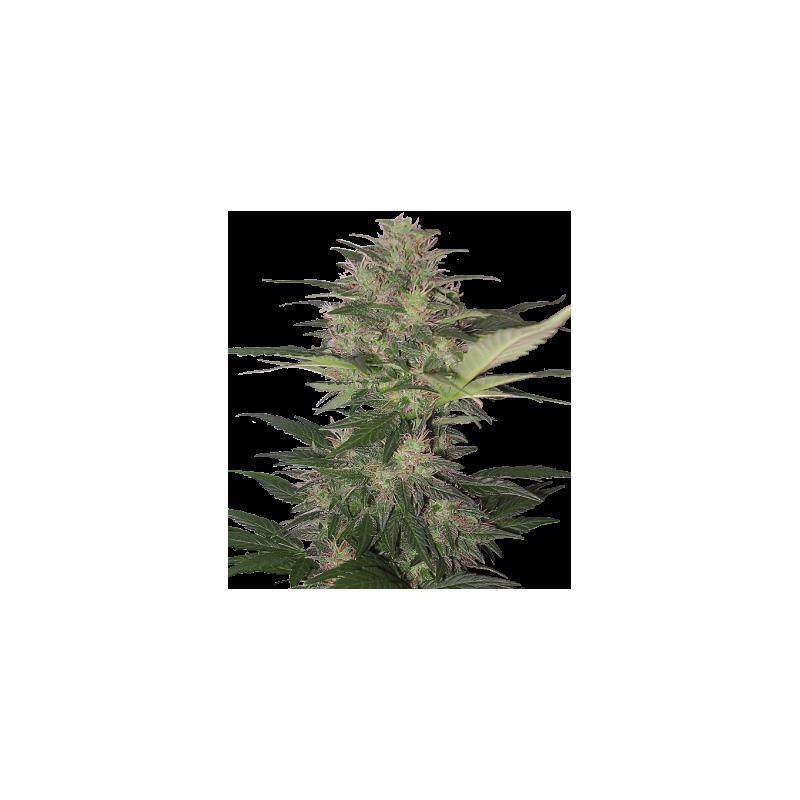 RED DWARF - 5ks - feminzovaná semínka - autoflowering