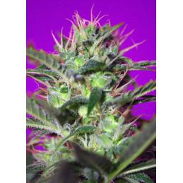 Botafumeiros - Sweet Seeds - feminizovaná semena